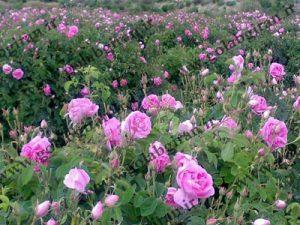 گلاب قمصر