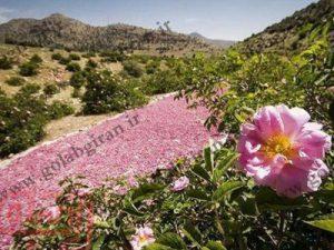 ارزان ترین قیمت گلاب