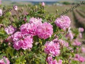 خرید و فروش گلاب خوب