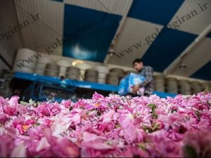 خریدار گلاب اصل درجه یک