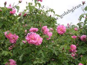 پخش گلاب خانگی