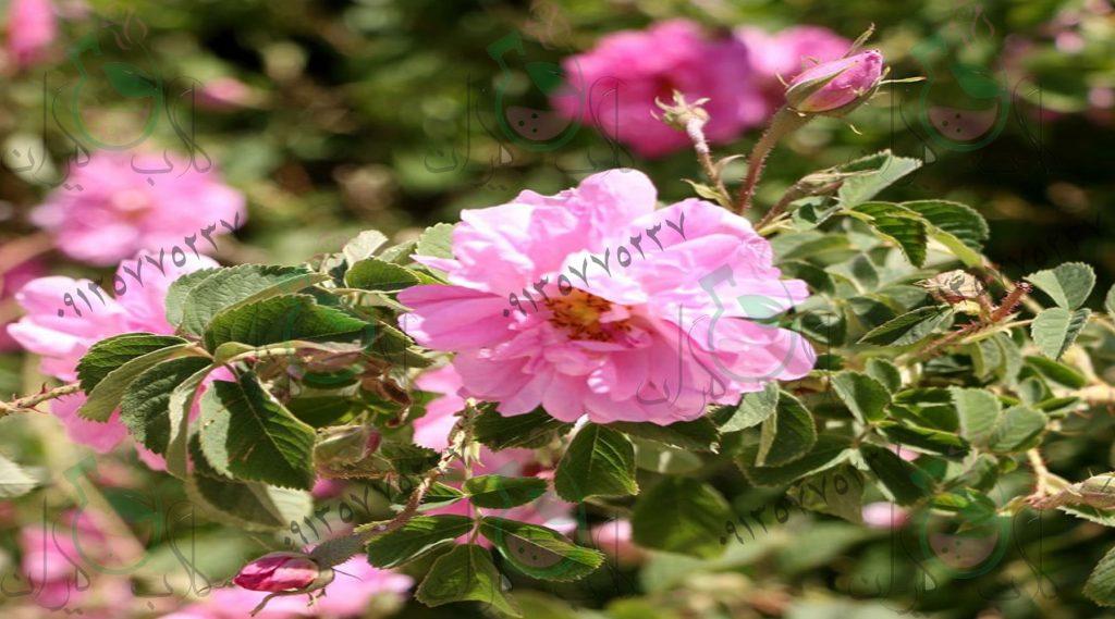 نهال گل رز