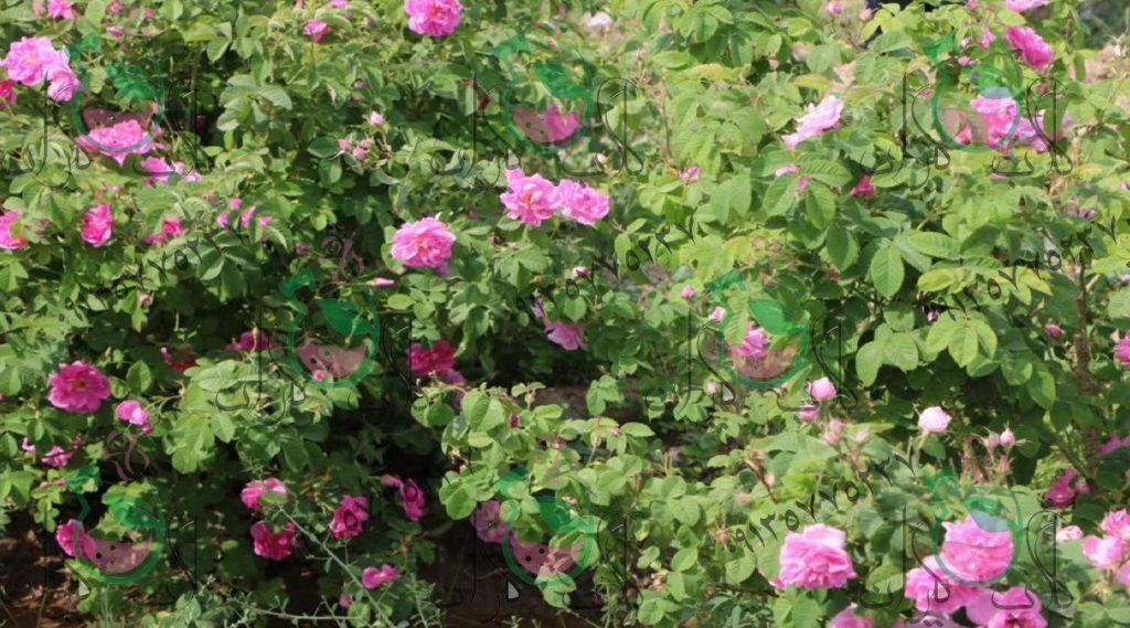 نهال گل محمدی