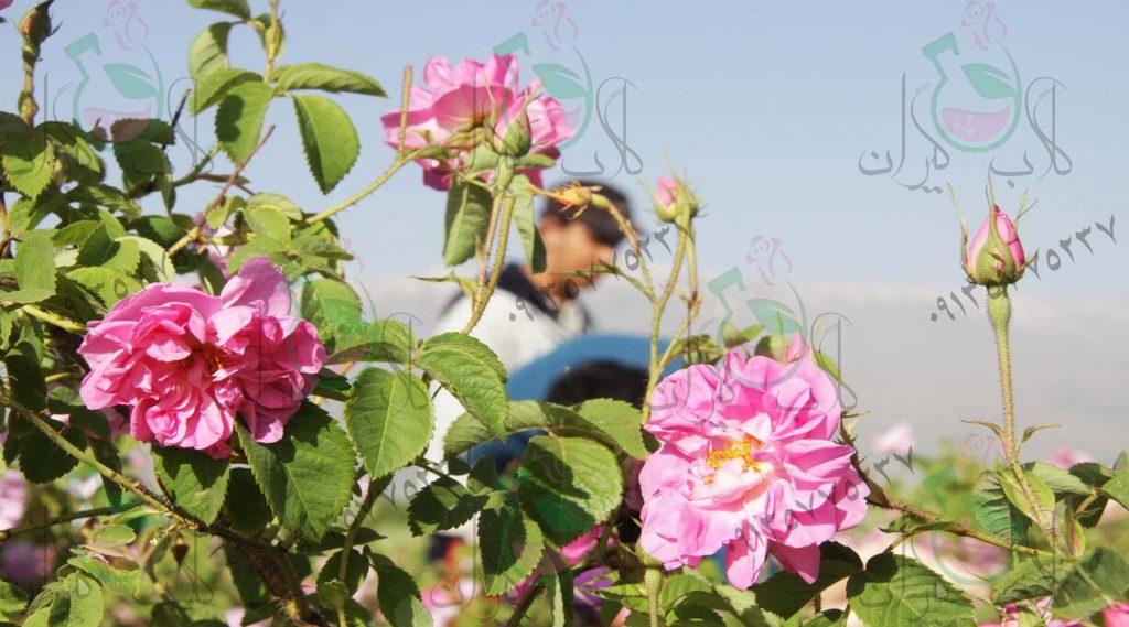 گلاب تک گل
